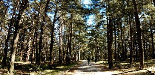 La forêt de cèdres