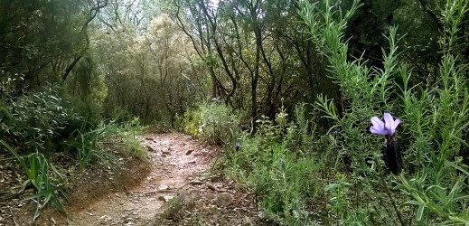 Forêt domaniale des Maures, Bormes les Mimosas